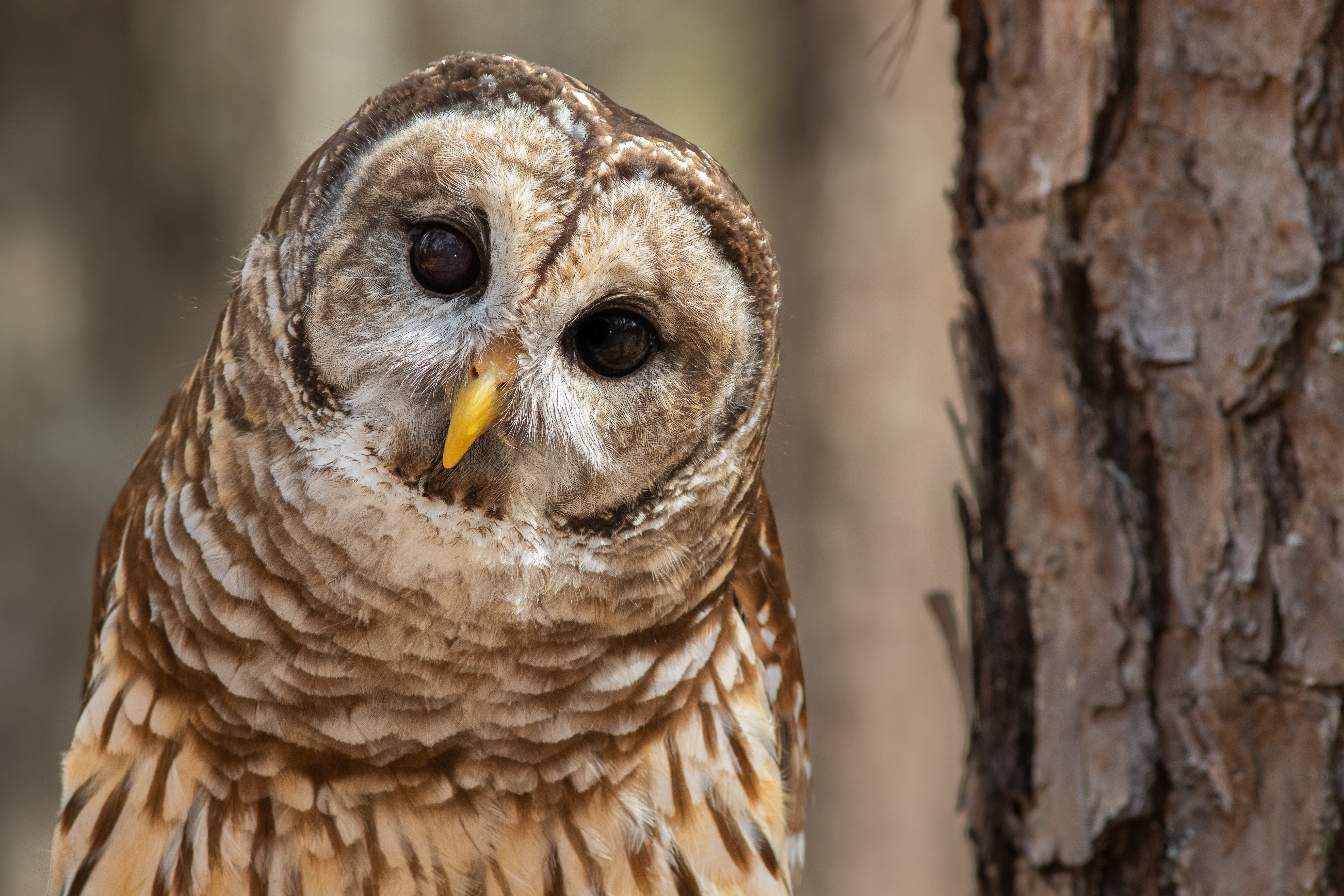 A curious barred owl.