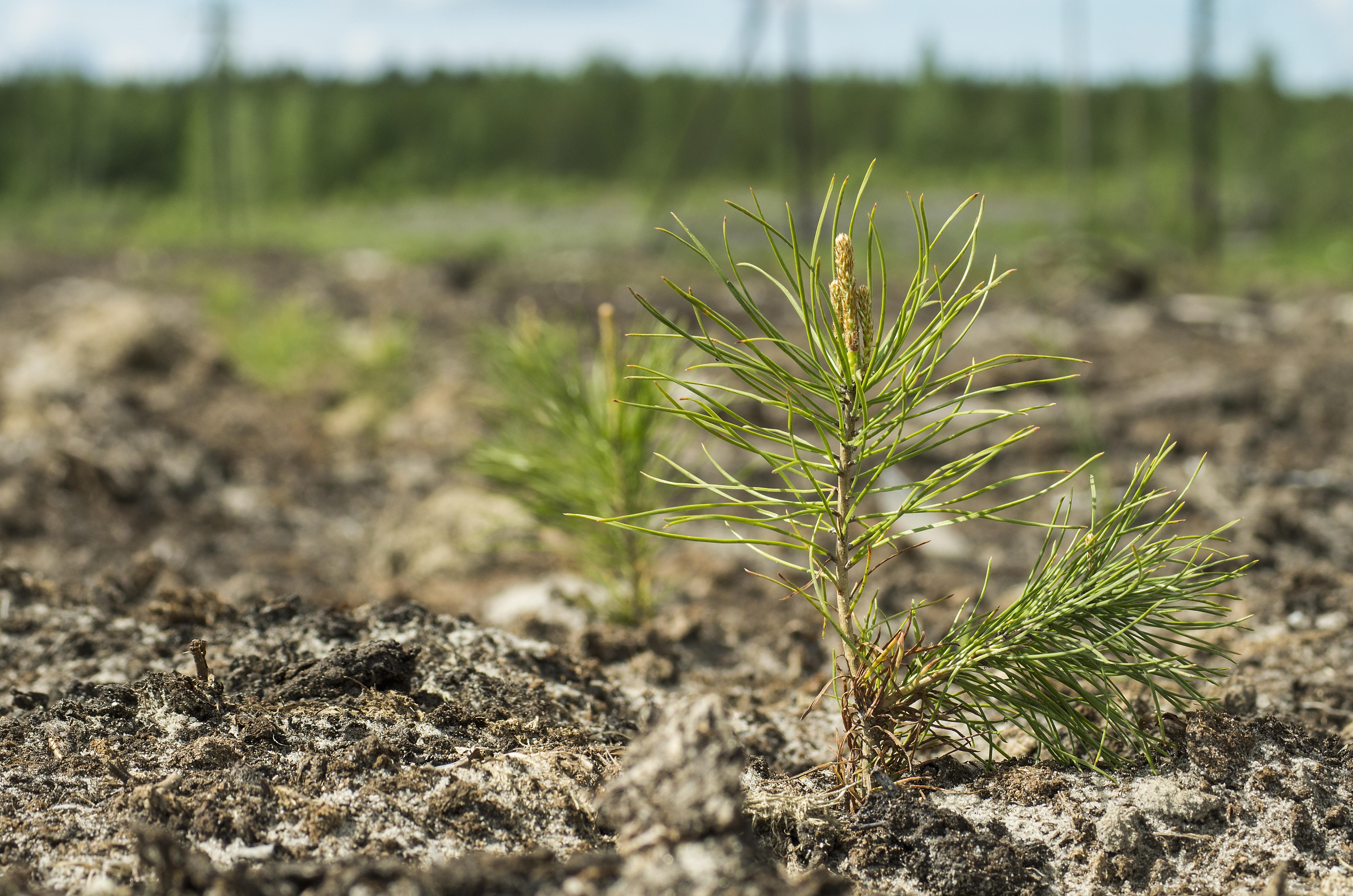 Planting pine seedlings.